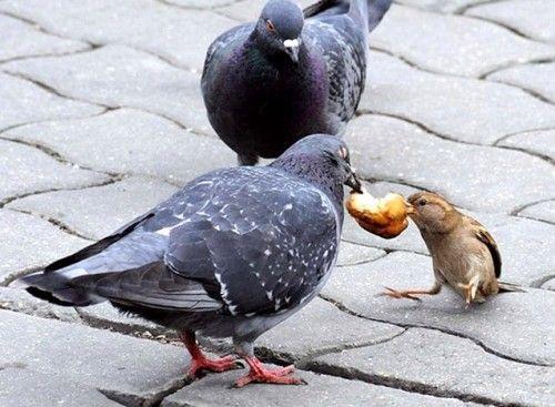Как ходит голубь