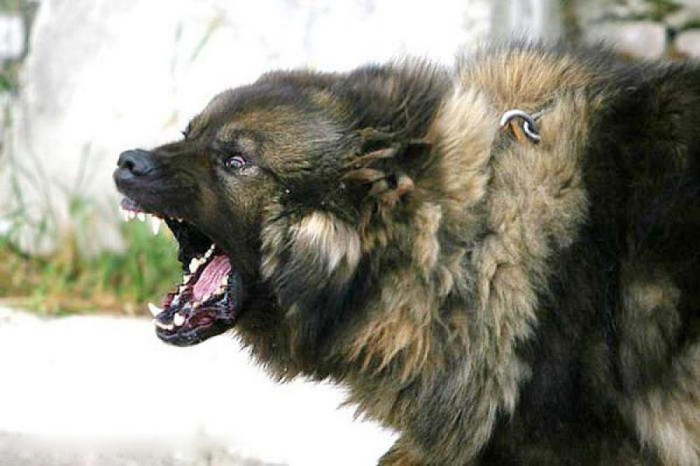 Картинки злые собаки волкодавы