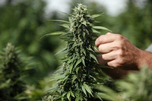 Конопля в бурятий эскизы тату марихуаны