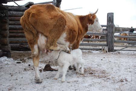 Гибрид яка и коровы название