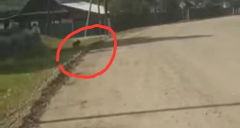 По селу в Бурятии уже несколько дней бегает медвежонок