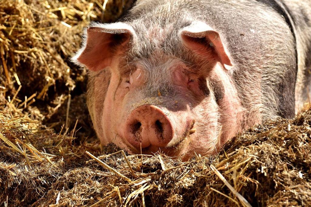 «Спать невозможно!»: Столицу Бурятии окутал запах свиней и фекалий