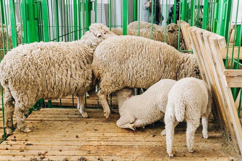 В Улан-Удэ представители шести регионов показали своих овец и козочек